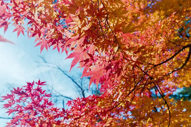山中湖【紅葉】7銀塩