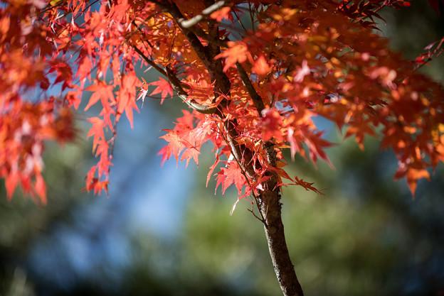 山中湖【紅葉】8