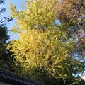 小石川後楽園【イチョウの黄葉はこちらだけでした】
