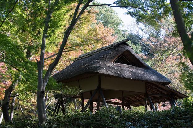 六義園【つつじ茶屋付近のモミジ】1