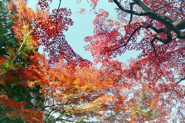 Photos: 旧古河庭園【モミジが見頃】1銀塩