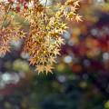 Photos: 旧古河庭園【モミジが見頃】3銀塩
