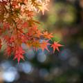 旧古河庭園【モミジが見頃】4