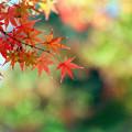 Photos: 旧古河庭園【モミジが見頃】5銀塩