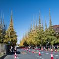 Photos: 【神宮外苑イチョウ並木の様子】2