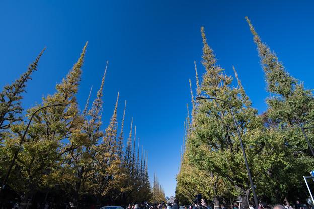 Photos: 【神宮外苑イチョウ並木の様子】3