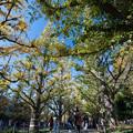 【神宮外苑イチョウ並木の様子】5