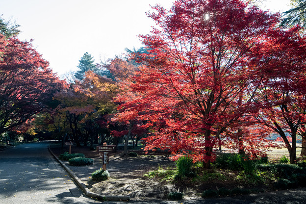 新宿御苑【新宿門近辺の紅葉】1