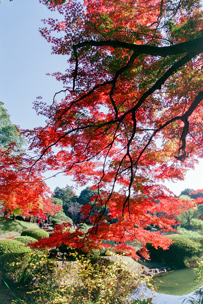 新宿御苑【上の池近辺の紅葉】7銀塩