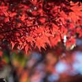 Photos: 新宿御苑【上の池近辺の紅葉】10