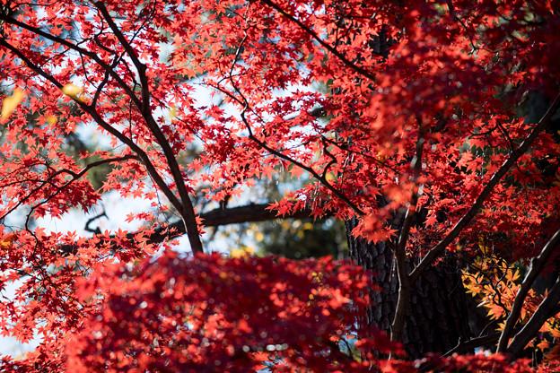 新宿御苑【中の池近辺の紅葉】3