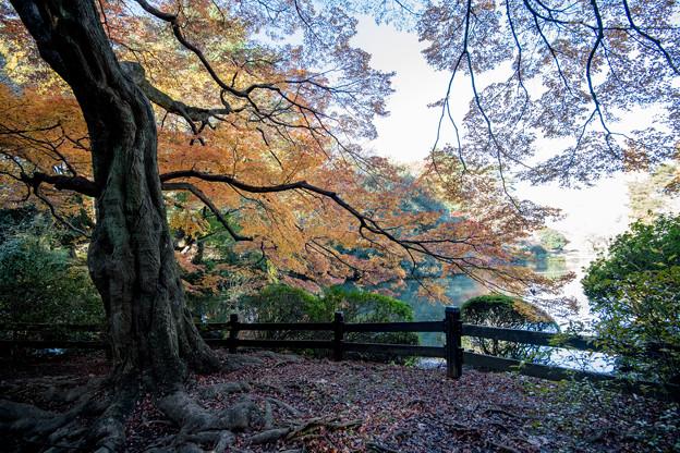 新宿御苑【下の池近辺の紅葉】8