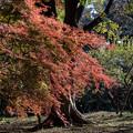 Photos: 新宿御苑【もみじ山近辺の紅葉】3