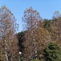 新宿御苑【プラタナス並木】4