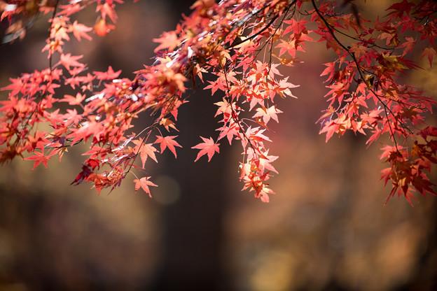 神代植物公園【雑木林付近の紅葉】6