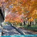 神代植物公園【バラ園テラス付近の紅葉】3