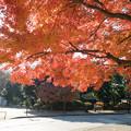 神代植物公園【正門前の紅葉】
