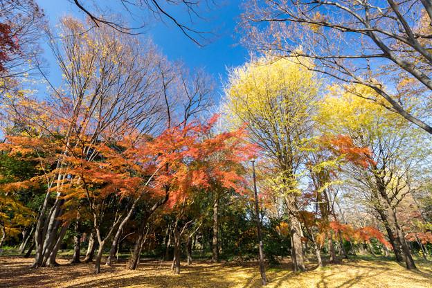 神代植物公園【自由広場付近の紅葉】2