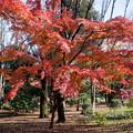 神代植物公園【自由広場付近の紅葉】5
