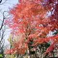 神代植物公園【自由広場付近の紅葉】6