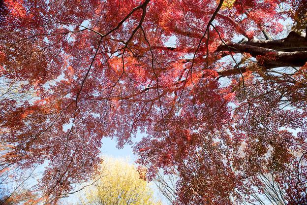 神代植物公園【自由広場付近の紅葉】7