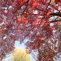 Photos: 神代植物公園【自由広場付近の紅葉】7