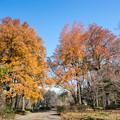 神代植物公園【モミジバフウの紅葉】1