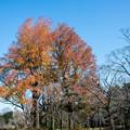 神代植物公園【モミジバフウの紅葉】2