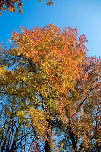 神代植物公園【モミジバフウの紅葉】3