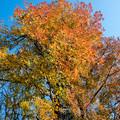 Photos: 神代植物公園【モミジバフウの紅葉】3