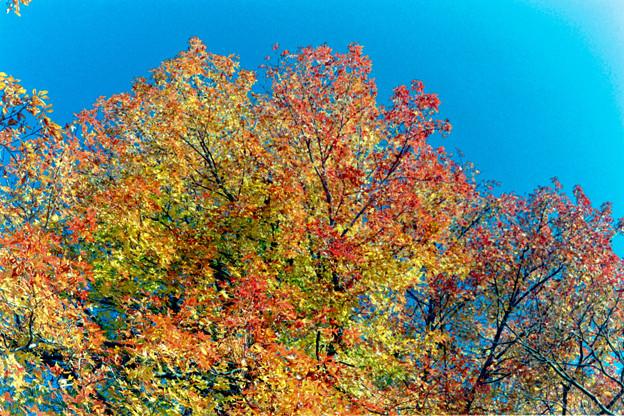 神代植物公園【モミジバフウの紅葉】4銀塩