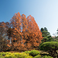 神代植物公園【メタセコイヤの紅葉】1