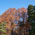 神代植物公園【メタセコイヤの紅葉】2