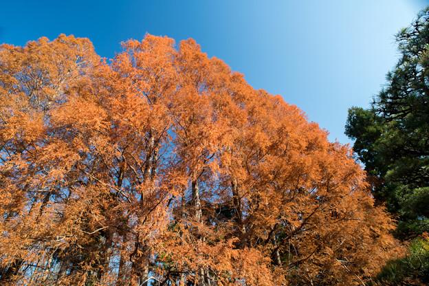 神代植物公園【メタセコイヤの紅葉】3