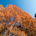 Photos: 神代植物公園【メタセコイヤの紅葉】3