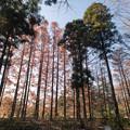 神代植物公園【メタセコイヤの紅葉】4