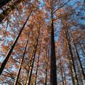 神代植物公園【メタセコイヤの紅葉】5