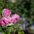 Photos: 神代植物公園【冬バラ: 作品2914】