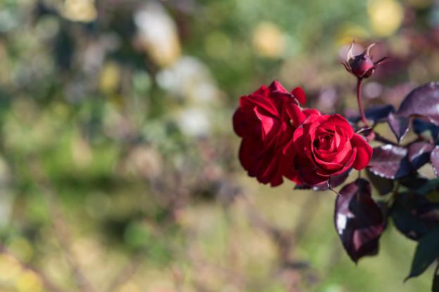 神代植物公園【冬バラ: ユーロピアーナ】