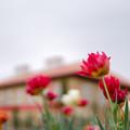 花菜ガーデン【チャペックの家のチューリップ】4