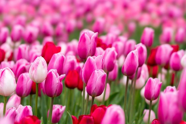 花菜ガーデン【チャペックの庭のチューリップ】1-1