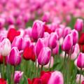 Photos: 花菜ガーデン【チャペックの庭のチューリップ】1-1