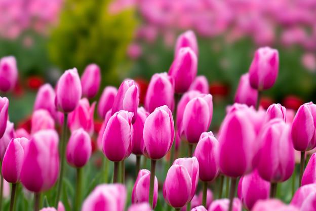 花菜ガーデン【チャペックの庭のチューリップ】1-2