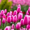 Photos: 花菜ガーデン【チャペックの庭のチューリップ】1-2