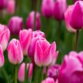 Photos: 花菜ガーデン【チャペックの庭のチューリップ】1-3