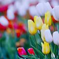 Photos: 花菜ガーデン【チャペックの庭のチューリップ】1-4銀塩