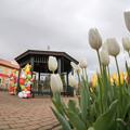 Photos: 花菜ガーデン【チャペックの庭のチューリップ】1-5