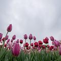 Photos: 花菜ガーデン【チャペックの庭のチューリップ】2-2