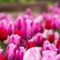 Photos: 花菜ガーデン【チャペックの庭のチューリップ】2-3