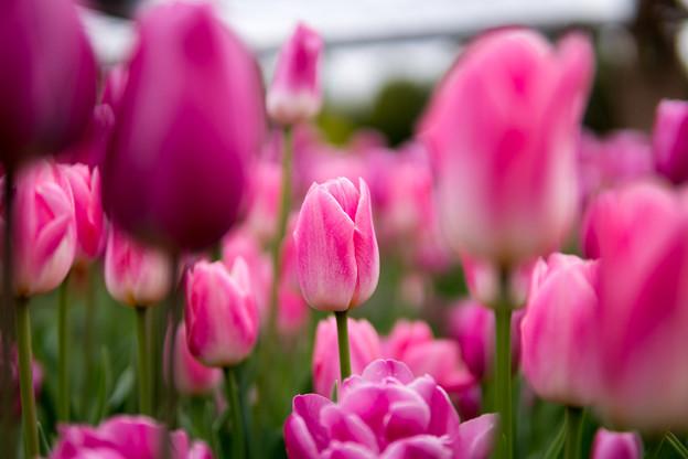 花菜ガーデン【チャペックの庭のチューリップ】2-4